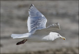 Glaucous-winged x Herring Gull, prealternate adult (2 of 2)