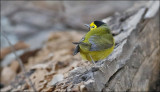 Hooded Warbler, male (1 of 4)