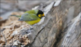Hooded Warbler, male (2 of 4)