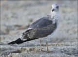 Lesser Black-backed Gull, 2nd cy