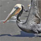 Brown Pelican, breeding plumage (1 of 2)