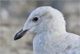 Iceland Gull, 1st cy