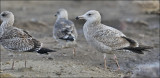 Herring Gull (right) with Lesser Black-backed Gulls, 1st cy