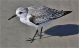 Sanderling, basic adult