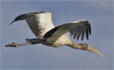 Wood Stork, 1st cycle
