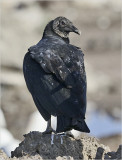 Black Vulture, adult