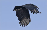 Black Vulture, presumed adult