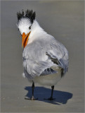 Royal Tern, basic adult