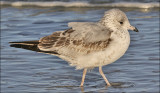 Ring-billed Gull, 1st cy