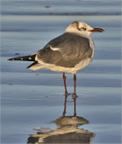 Laughing Gull, basic adult