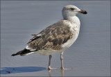 Great Black-backed Gull, 2nd cy