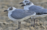 Laughing Gulls  -  Winter adults