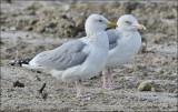 Herring Gulls, basic adults