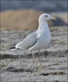 Herring Gull, basic adult