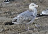 Herring Gull, cy 2