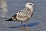 Herring Gull, 2nd cy