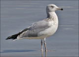Herring Gull, 3rd cy