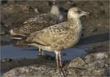 Herring Gull, 1st cy