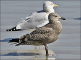 Herring Gulls, 1st cy and adult