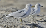 Ring-billed Gull, adult with 2nd cy (rear)