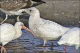 Iceland Gull, 1st cycle