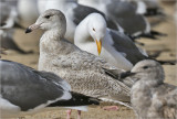Glaucous-winged x Herring Gull Hybrid (Cook Inlet) 1st cy (1 of 3)