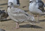 Glaucous x Herring Gull hybrid, 1st cy (2 of 3)
