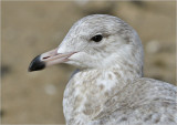 Glaucous x Herring Gull hybrid, 1st cy (3 of 3)