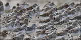 Sanderlings, prealternate plumage