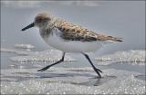 Sanderling, prealternate plumage