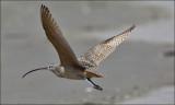 Long-billed Curlew, alternate plumage
