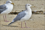 presumed Glaucous-winged x Herring Gull hybrid, basic adult