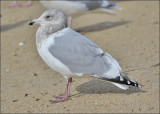 Probable Glaucous-winged x Herring Gull basic 3rd cycle