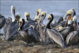 Brown Pelicans, breeding and prebasic adults