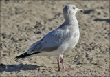 Glaucous-winged x Herrijng Gull, 2nd cycle