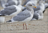 Glaucous-winged x Western Gull, adult