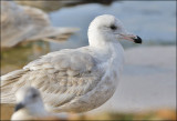 Probable x Glaucous-winged x Glaucous Gull ), 1st cycle