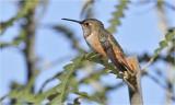 selasphorus hummigbird