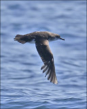 Black-vented Shearwater, (1 of 2 )