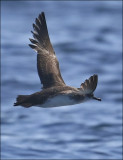 Black-vented Shearwater (2 of 2)