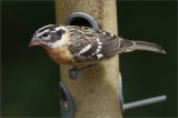 Black-headed Grosbeak, 1st winter male