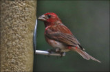 Purple Finch, adult male