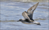 Black-bellied Plover, juvenile (2 of 2)