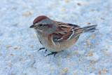 American Tree Sparrow 2