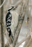 Downy Woodpecker 1