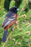 Orchard Oriole 1