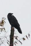 Common Raven 2