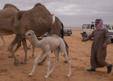 The baby camel story (3/8): Cute
