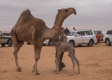 The baby camel story (5/8): Reunited