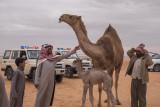 The baby camel story (6/8): Disheveled